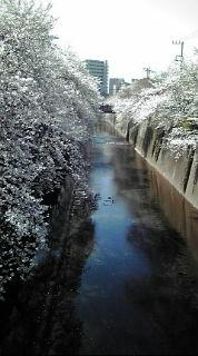 アルU^エ^<br />  Uと桜